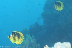 BD-120422-Fury-Shoal-6063-Chaetodon-fasciatus.-Forsskål.-1775-[Diagonal-butterflyfish].jpg